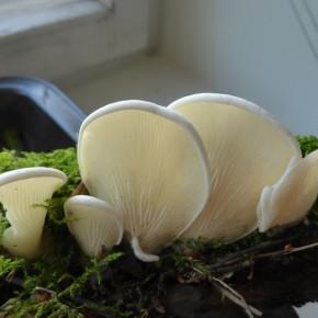 Suuren Sieninäyttelyn lajikilpailu