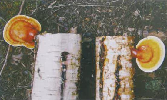 Kuva 5. Lakkakääpiä, Ganoderma lucidum, koivupölleissä, kolmen vuoden kuluttua ymppäyksestä. – Valokuva V. Hintikka.
